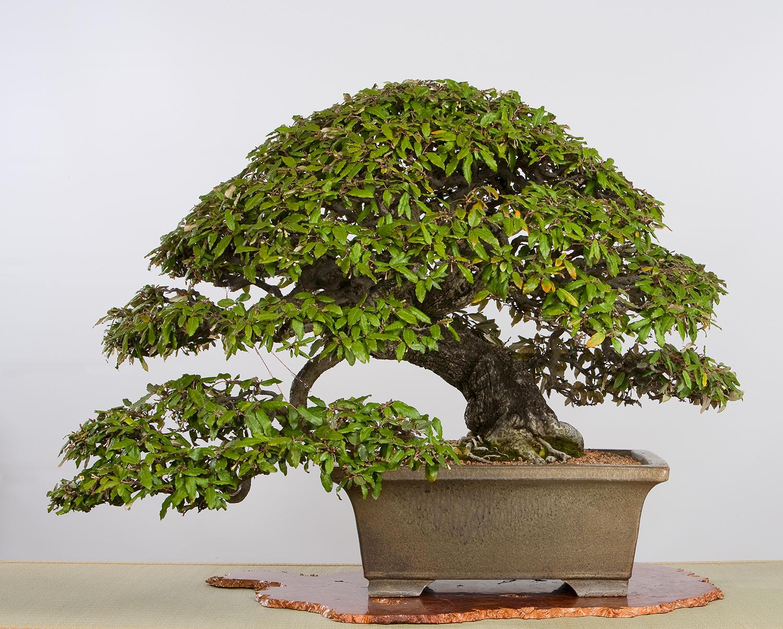 Thorny elaeagnus
