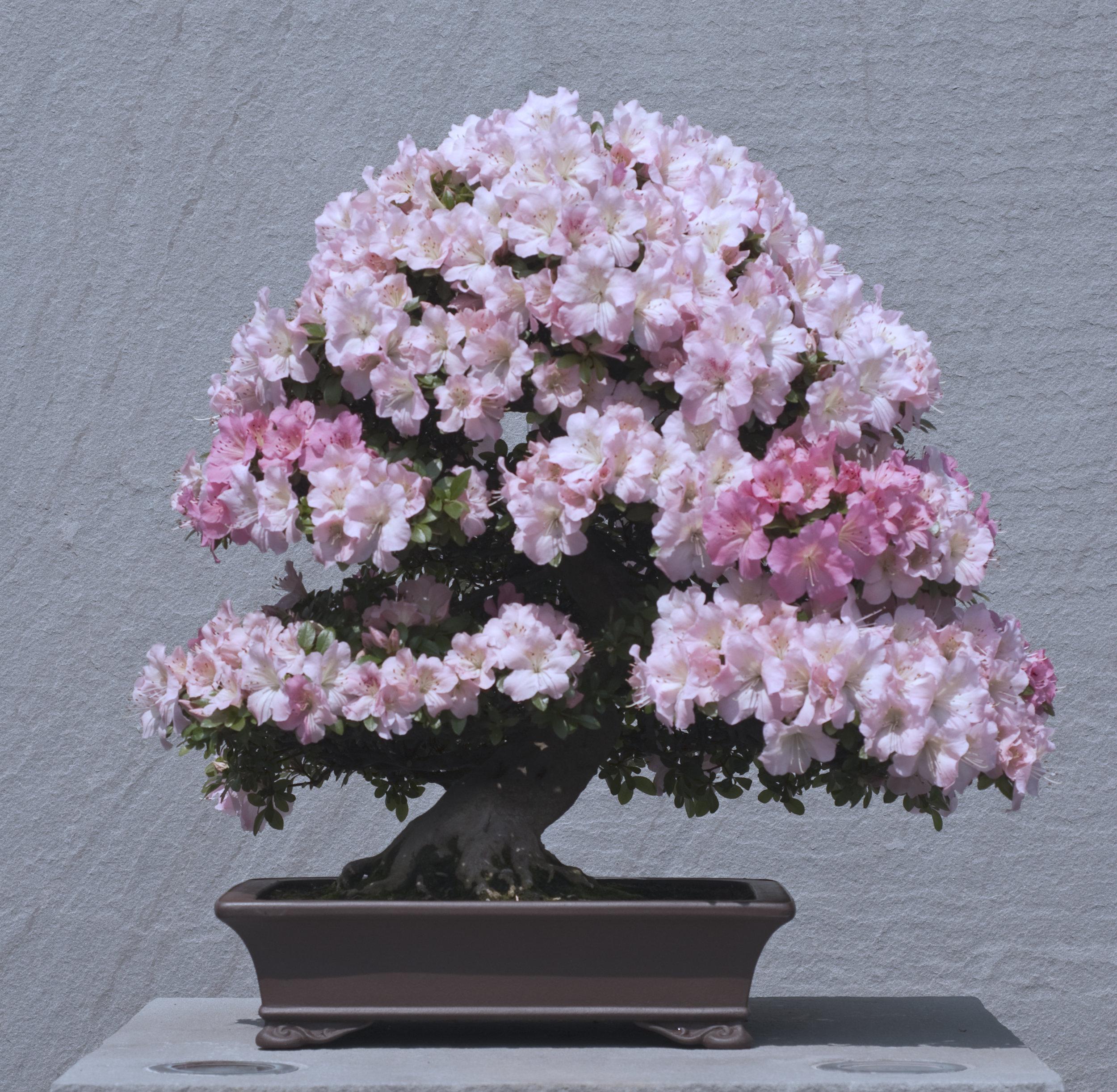 Satsuki azalea 'Gyoten'
