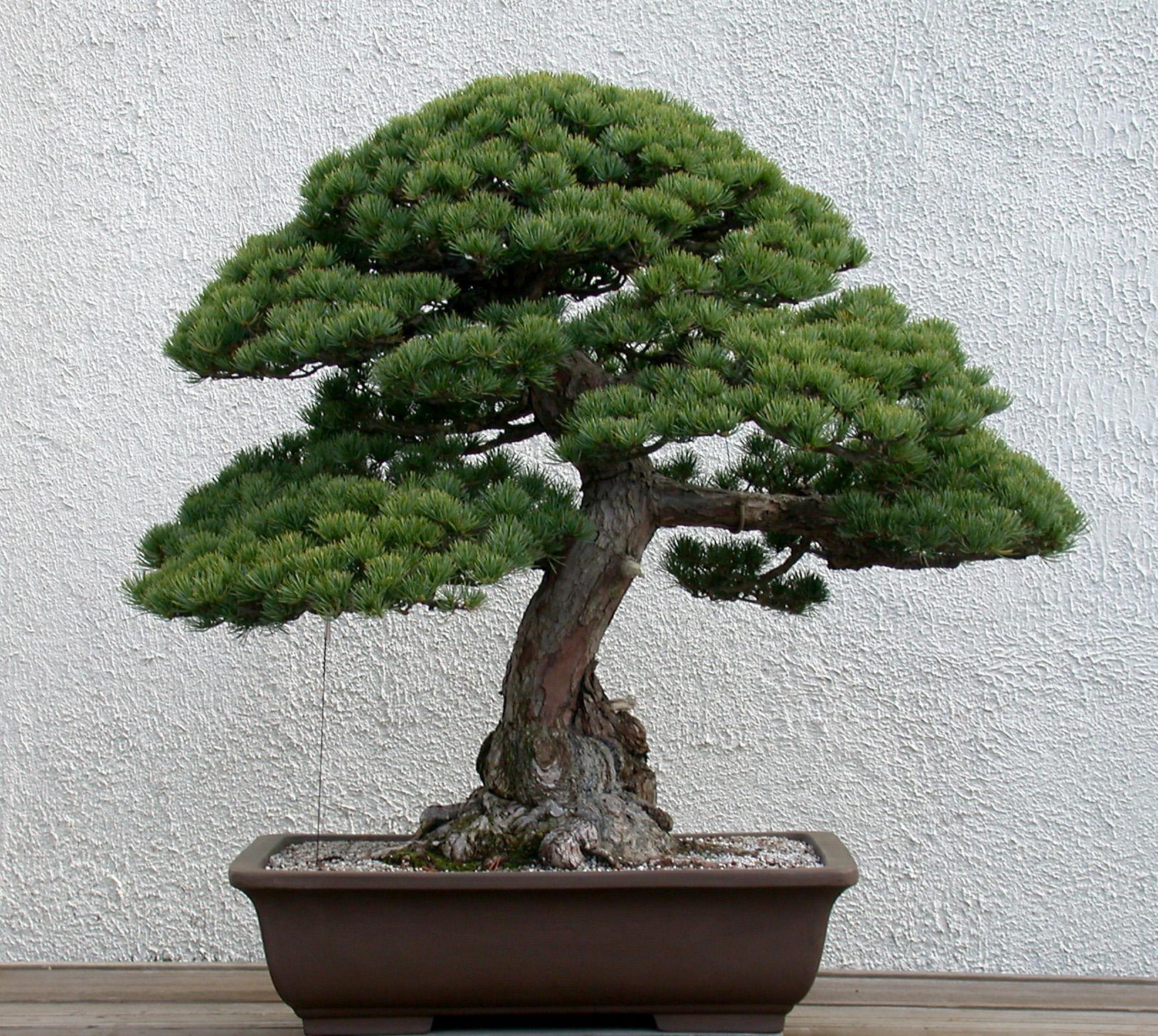 Japanese white pine