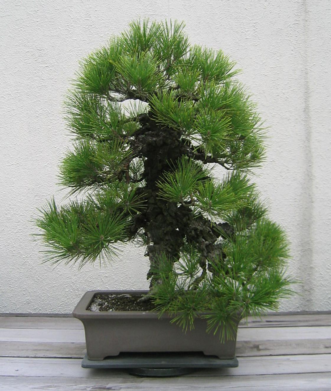 Cork-bark Japanese Black Pine