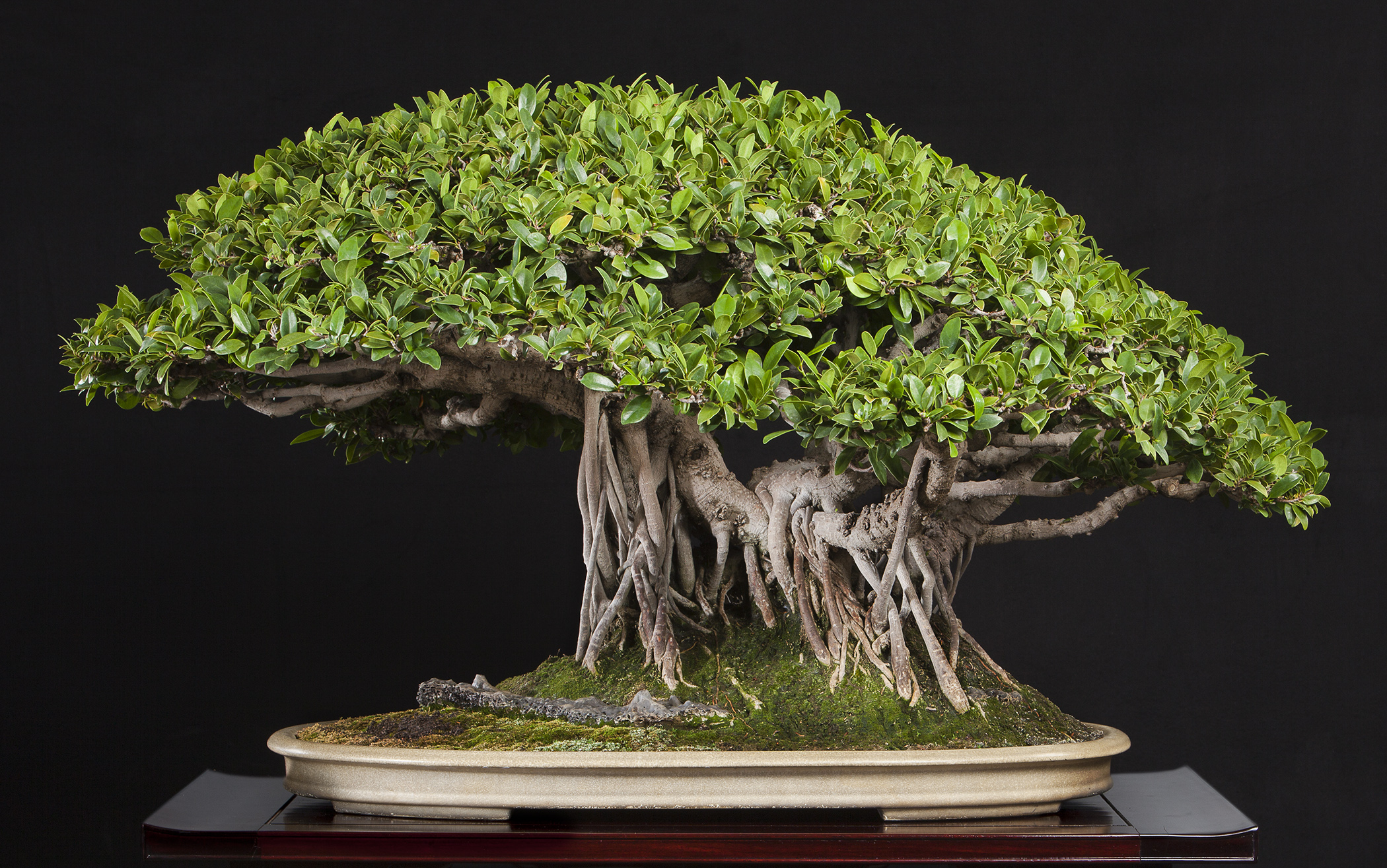 """Ficus microcarpa  'Kaneshiro'  In training since 1975  Gift of Haruo Kaneshiro, 1990  This ficus was hybridized by Hawaii's foremost bonsai master, Haruo Kaneshiro. The styling imitates the natural look of old banyan trees in the tropics, with their aerial roots reaching down to add multiple """"trunks."""""""