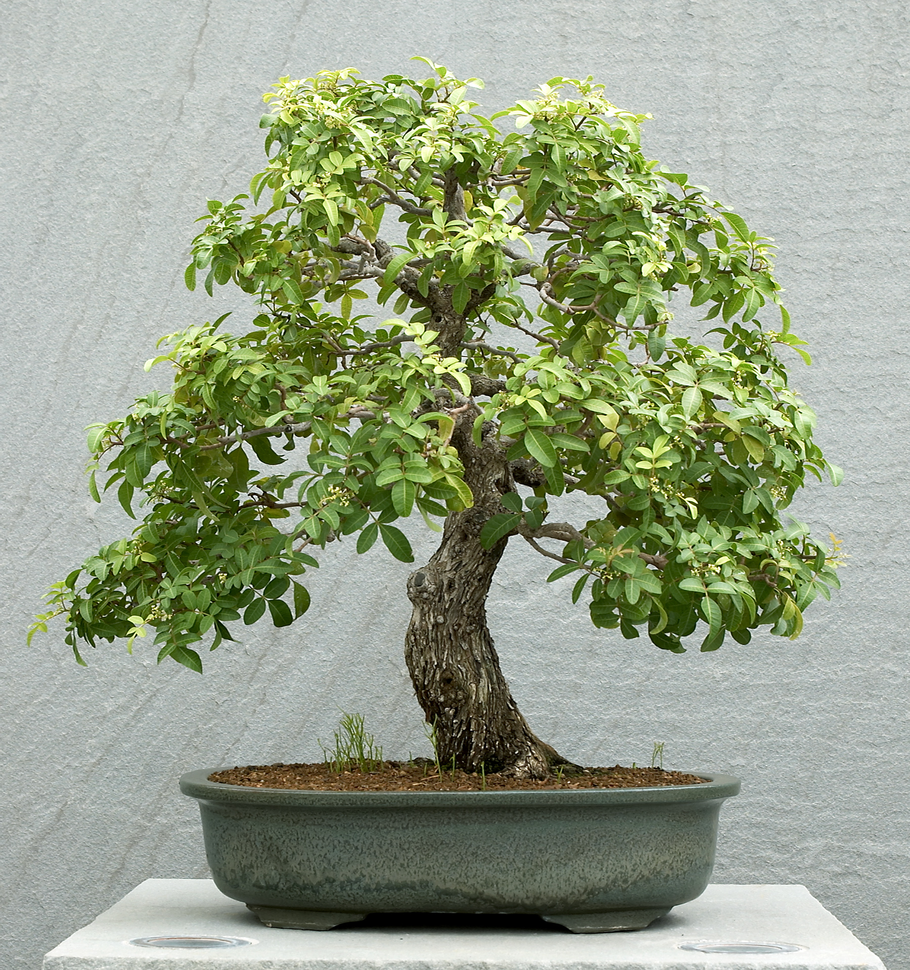 North American Collection National Bonsai Foundation