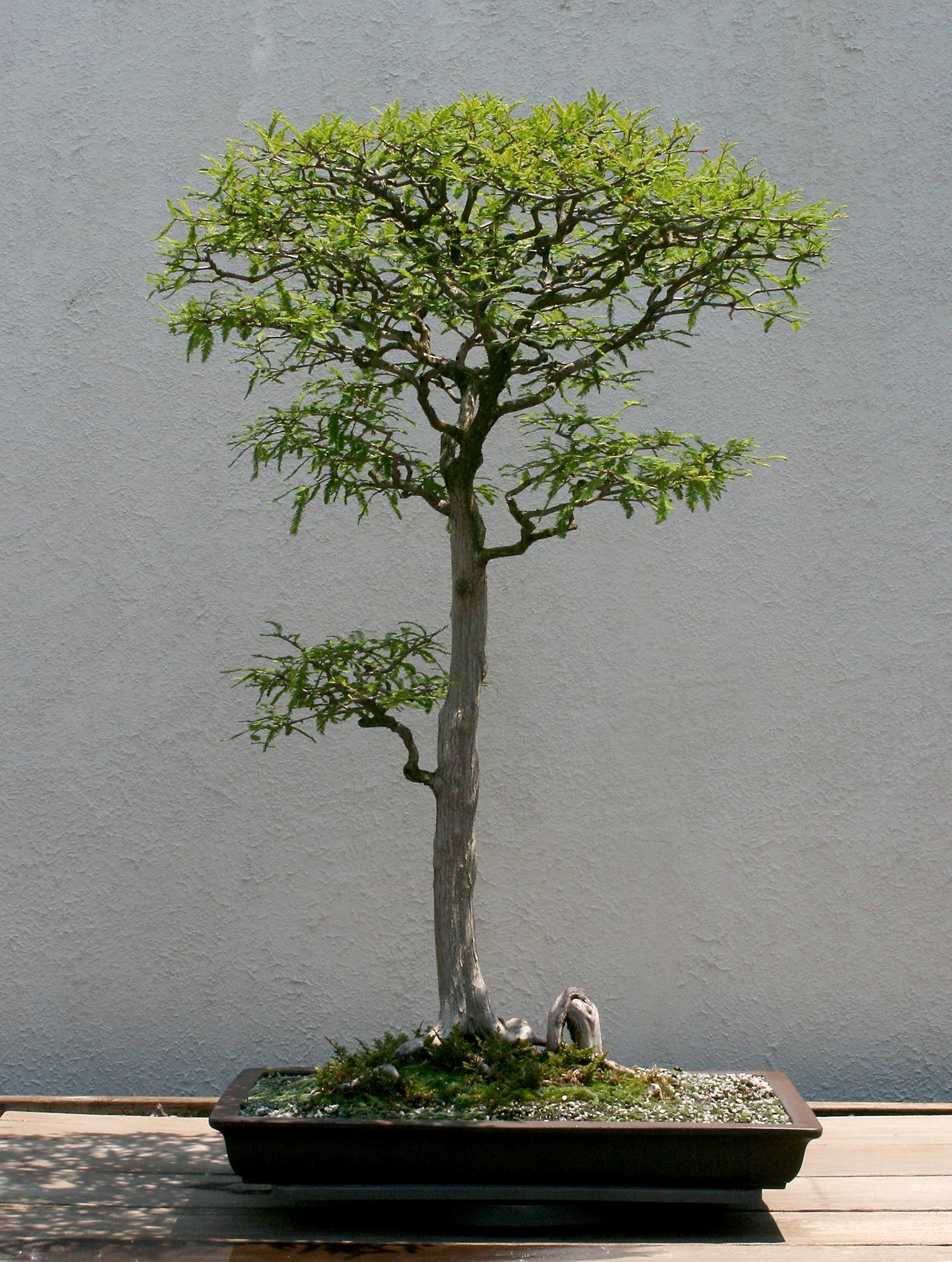 Bald-cypress