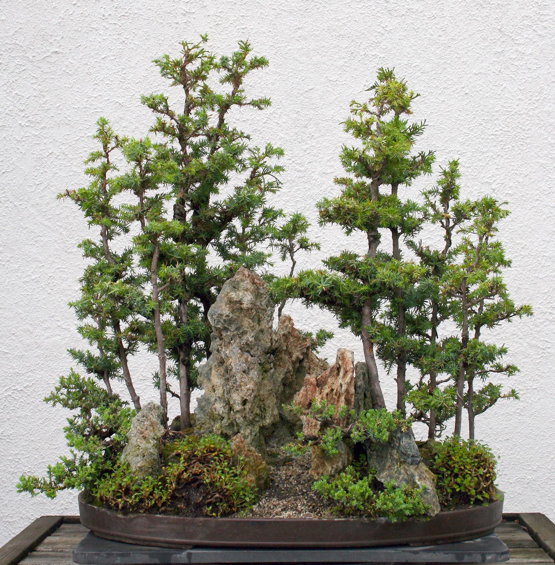 Juniper Saikei