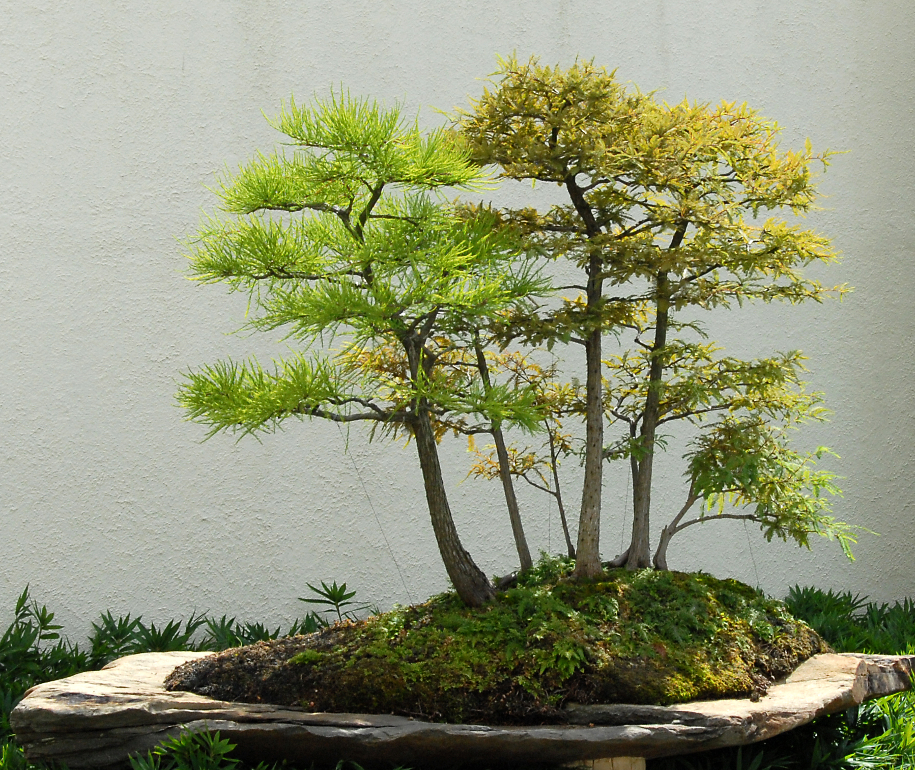 Bald-cypress and Pond-cypress