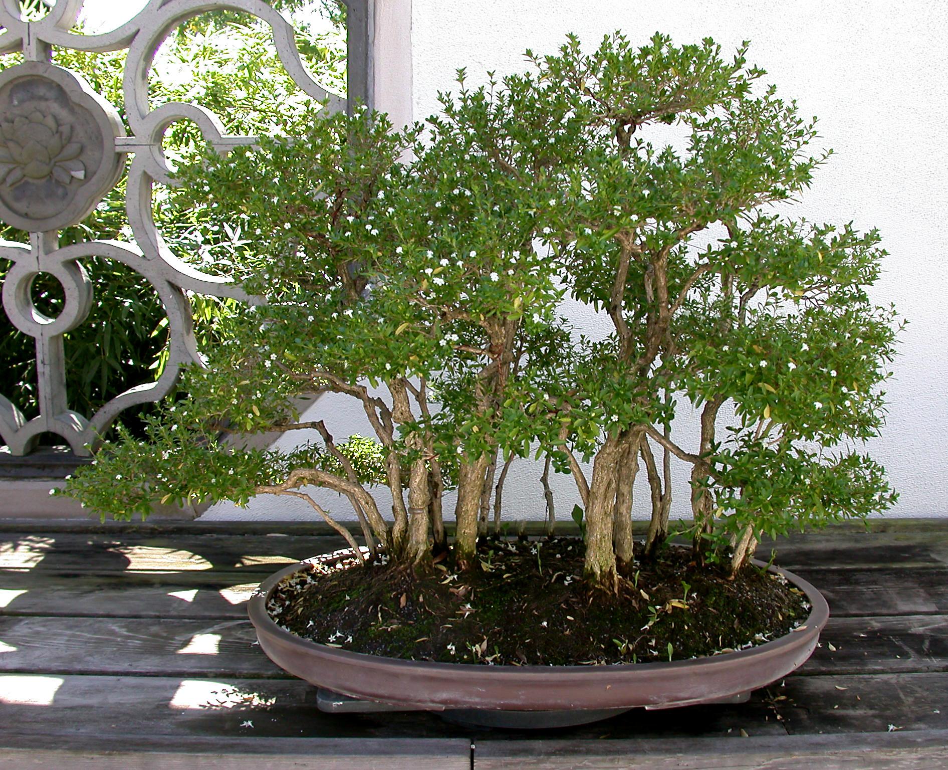 Japanese Boxthorn