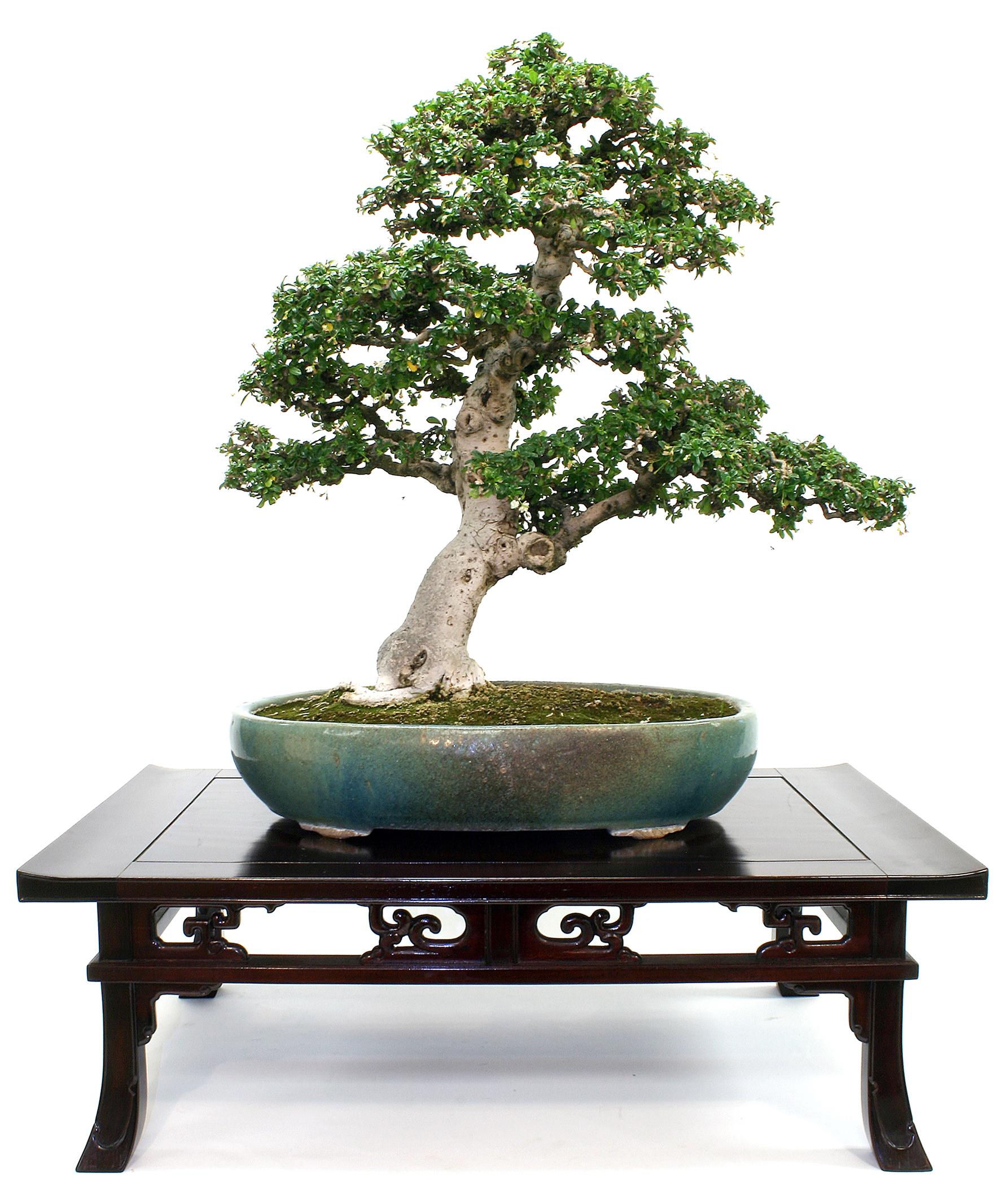 Fukien-tea