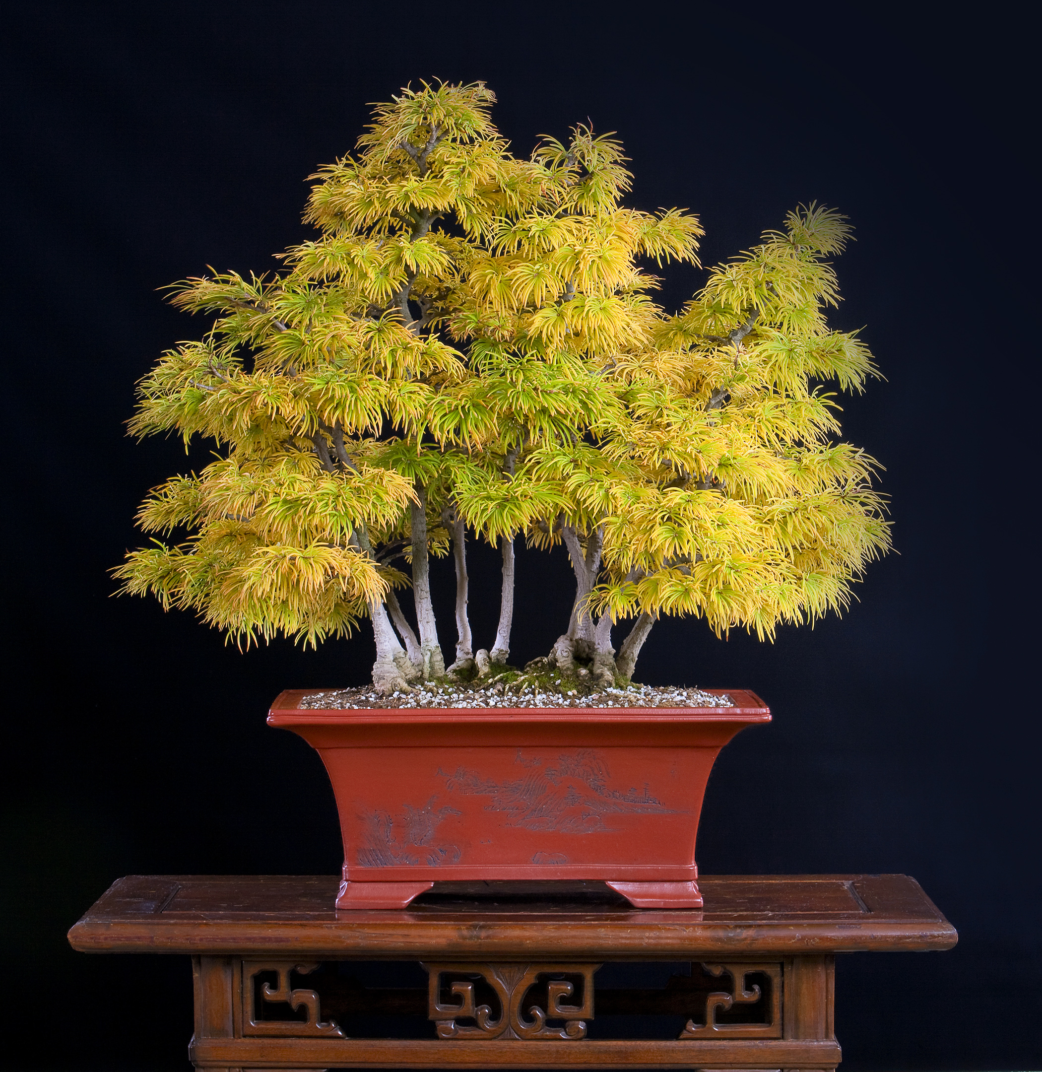Chinese Golden-larch