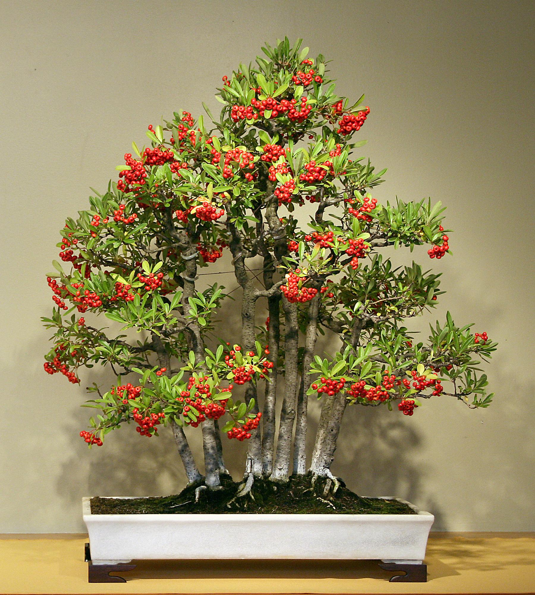Nepal Firethorn
