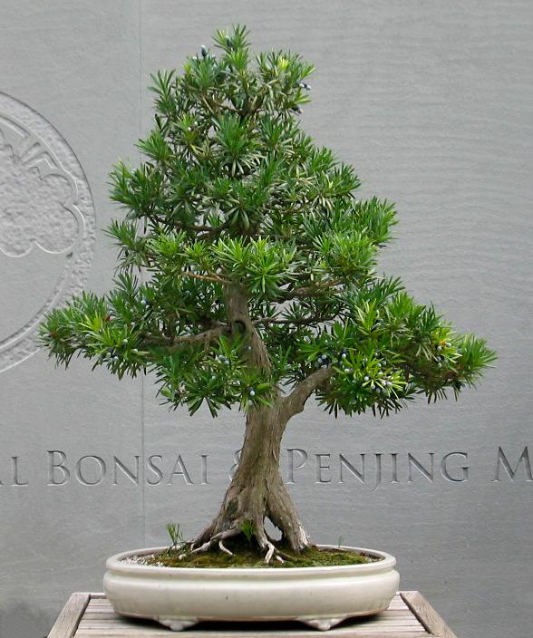 Buddhist-pine