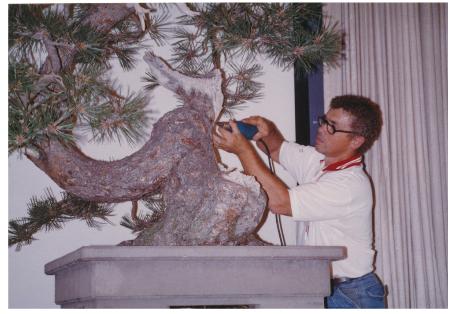 Dan Robinson carves the dead wood on the ponderosa pine.