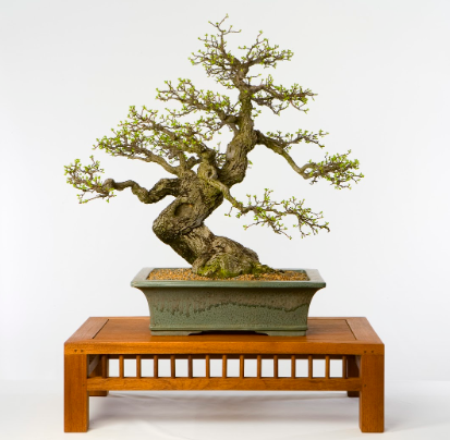 An informal upright bonsai.