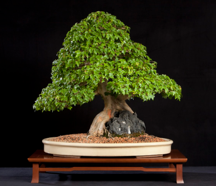 A root-over-rock style bonsai.