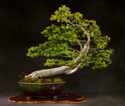 A bonsai in the windswept style.