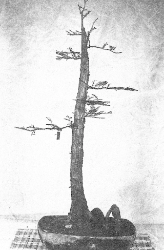 The cypress in 1976 in its first form, the formal upright.