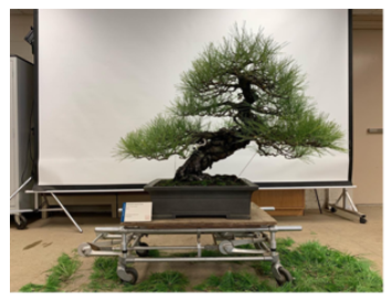 Post decandling on Japanese black pine ( Pinus thunbergii ) donated by Saichi Suzuki