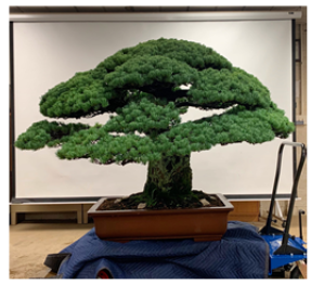 "Thinning and structural pruning on the ""Yamaki"" white pine ( Pinus   parviflora )"