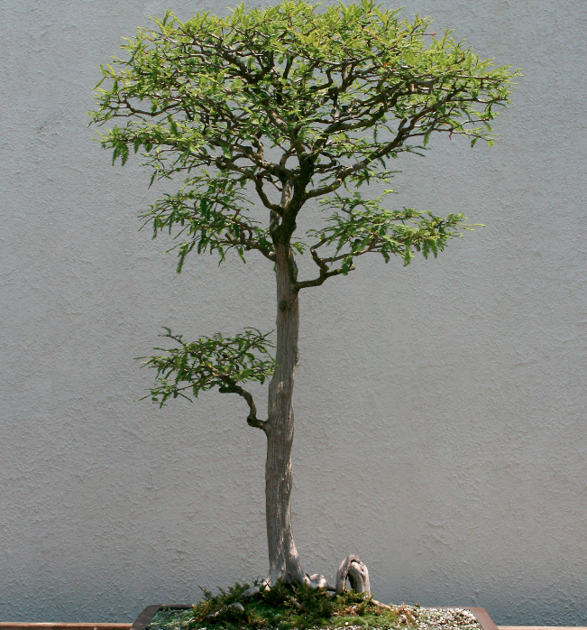 Pond Cypress Bonsai Blog National Bonsai Foundation