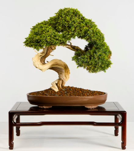 Historical Tree Spotlight Bonsai Blog National Bonsai Foundation