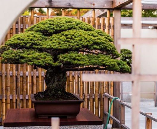 Repotting The World Famous Yamaki Pine National Bonsai Foundation