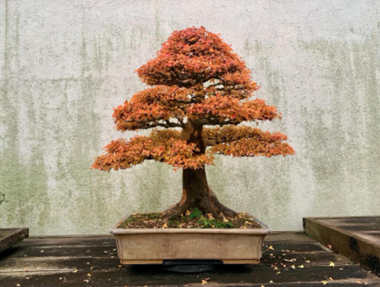 American Beech Bonsai Blog National Bonsai Foundation