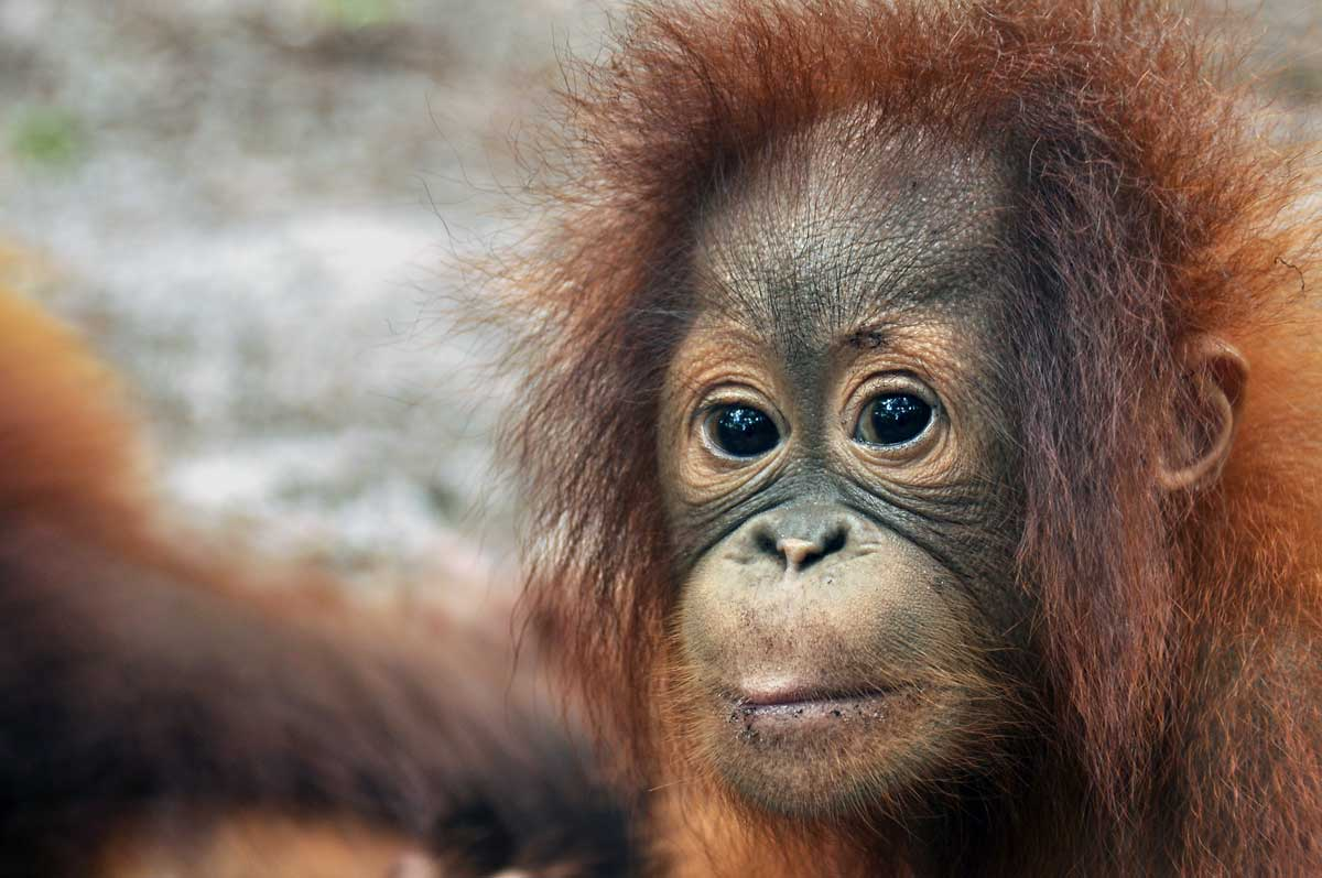 Image courtesy of Save the Orangutan.