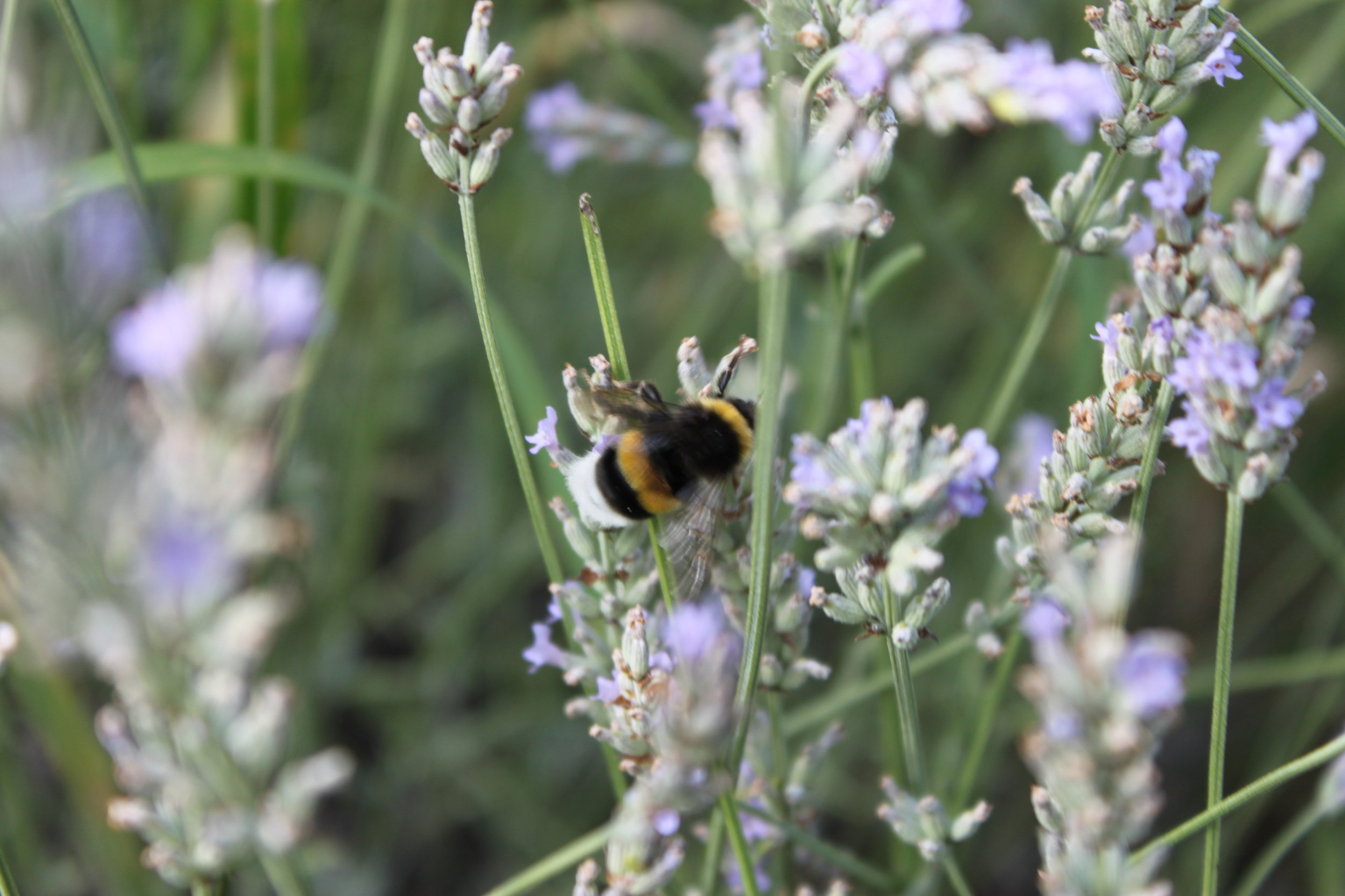 Bumblebee in France. Image courtesy of Nigel Rustin.