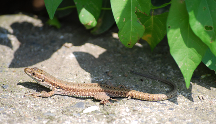 French wall lizard.  Source