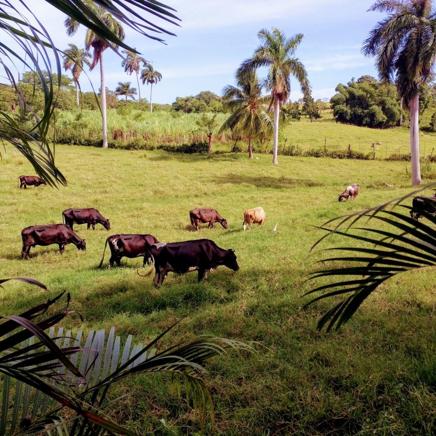 Cows-on-the-Farm.jpg