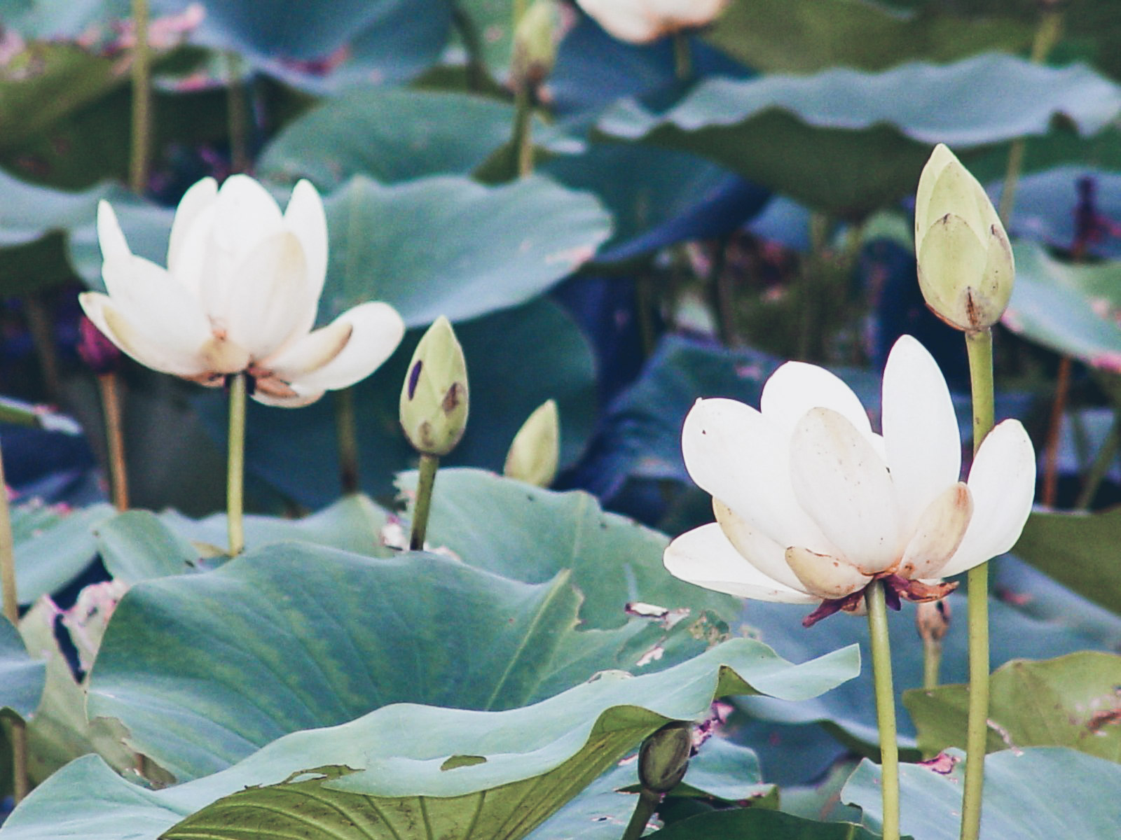 "(A photograph of White Lotus flowers i found on internet. It is not mine.)  When I was young, I used to dislike my name because a lot of people didn't pronounce it properly. I've been called many names : "" Fanja"", ""Fania"", ""Fanta"", ""Fenja"", ""Fenza"", and even ""Fonzie"" . haha  Would you believe me if I told you that even the French Administration typed "" Fanta "" instead of "" Fanja "" on my ID Card...?!   Most of my Teachers would put a "" Z "" instead of a "" J "", instead of trying to Remember it.     It's not the End of the world! you would say... But i suffered in silence for many years. I even sometimes felt ashamed to spell my own name... How Crazy is that?!  So, what made me and my "" Ego "" to Counter Attack? Well, I guess their Ignorance, but I also admit, mine too. I used to Ignore and Deny the existance of the Negative Thoughts that kept me all this Time  Prisonner of my Negativity . Now I know these Things don't matter. I already forgave them, and first of all, I forgave Myself. That is what liberated me.  My name is  Fanja  (pronounced "" Fanza "" or "" Fanz "").  In Malagasy language (in Madagascar),  it means  ""Bud"".  In French, we say "" Bourgeon "" and in Japanese "" Tsubomi "".  I believe this name is the One I have chosen and is the One that chose me.  It reminds me, at this Period of my Life, that I'm in the phase of Remembering Who I truly Am, my Deep Connection with Nature and our Universe and the Mission I have to accomplish on Planet Earth to help Bring back Love, Peace and Harmony, before I bloom and transform into a Flower.    Be proud of your Name, no matter what People say or How they could distort it.  Your name is Sacred .  It is the Energy of Love and Creation Manifesting itself, that No One and Nothing can Destroy.    Search for its Real and Deep meaning. It certainly hydes Secrets and Magic.  Above all, You would be surprised to Discover how Connected you actually were with it Way before your were born.  If really you Feel that your Name has never fit you or doesn't fit you anymore,  you can search for another One, listening your Intuition...     To Every Fanja in the World and Every Little Buds who are also about to Bloom: Let the Light guide your Heart, your Mind and your Spirit to the Awakening of your Truth.      in the name of ""i aM presence"".   Peace. 🙏🏾💚🌿   Fanja"