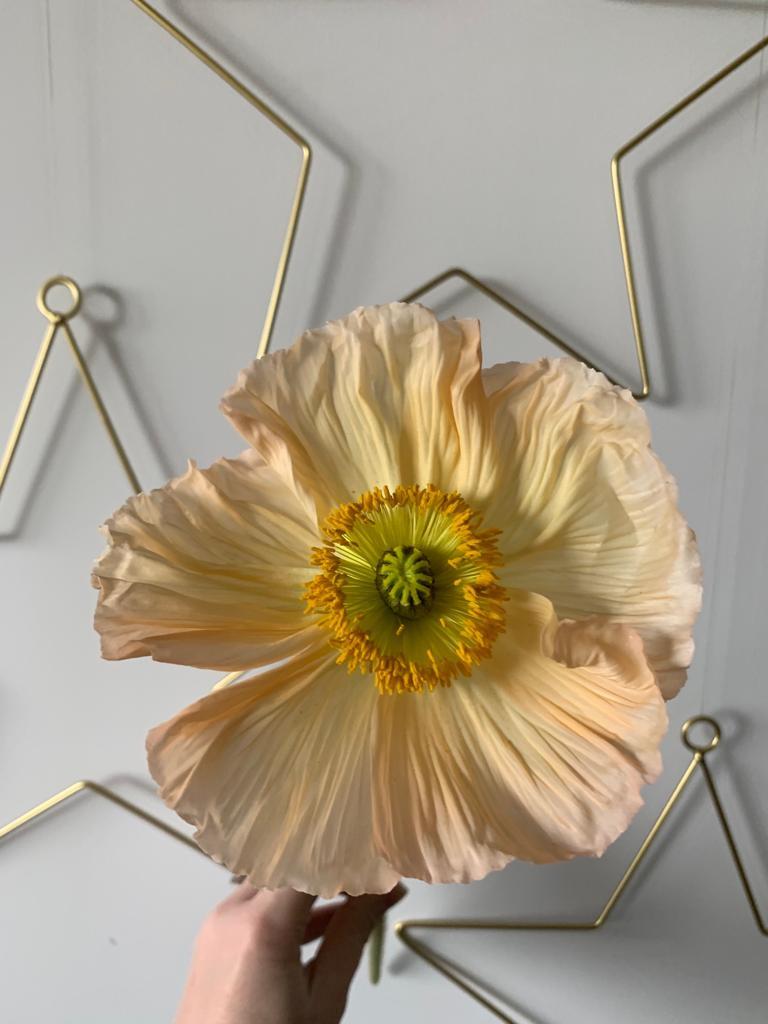 Icelandic Poppy - Spring Flower