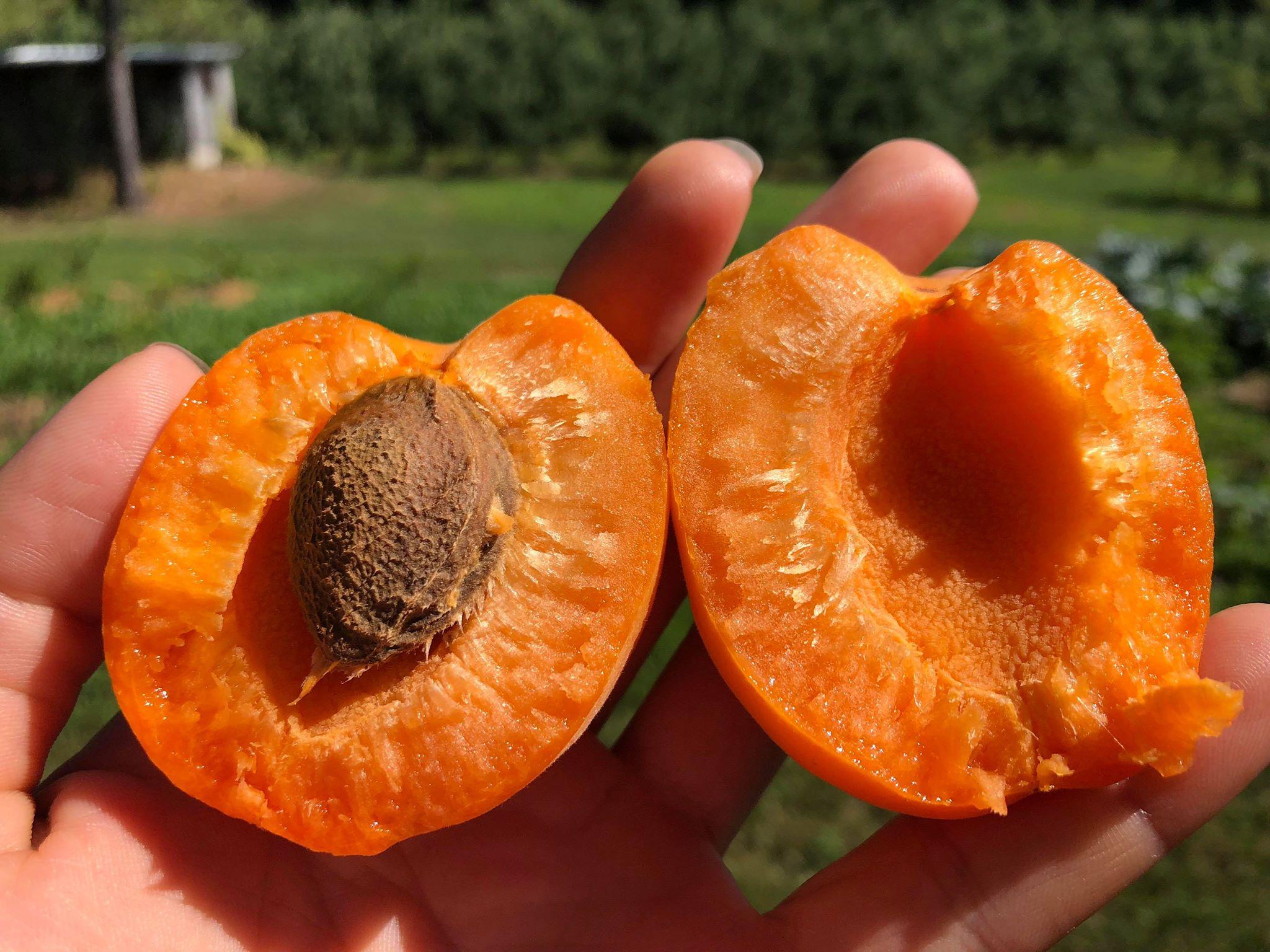 Apricot split.jpg
