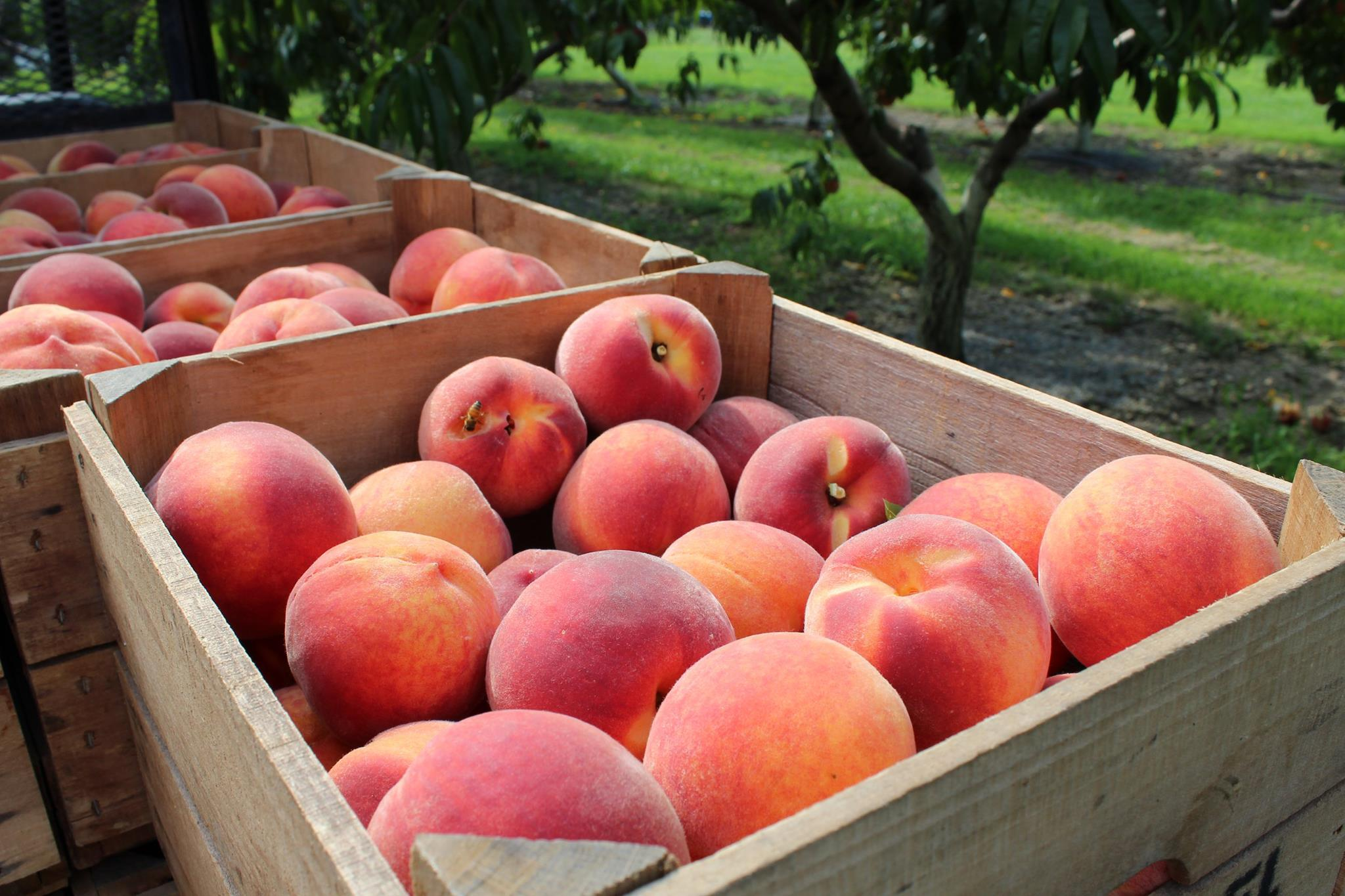 Sweet Red Haven peaches.