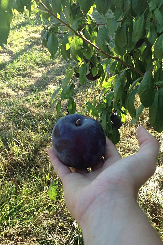 Flavor Rich Pluot.jpg