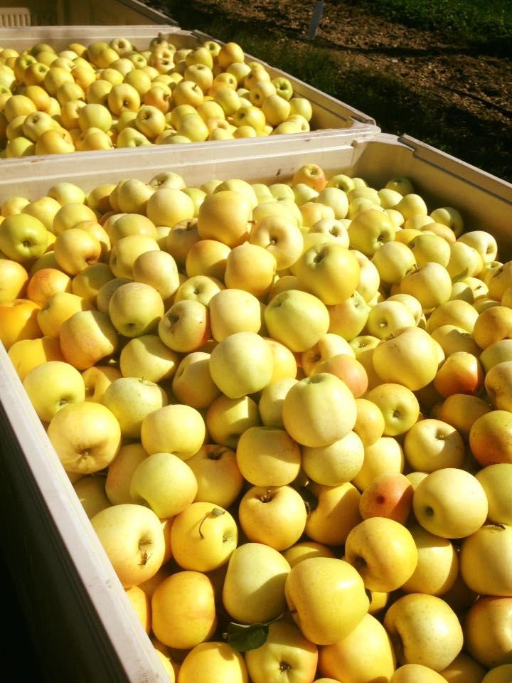 yellow apples.jpg