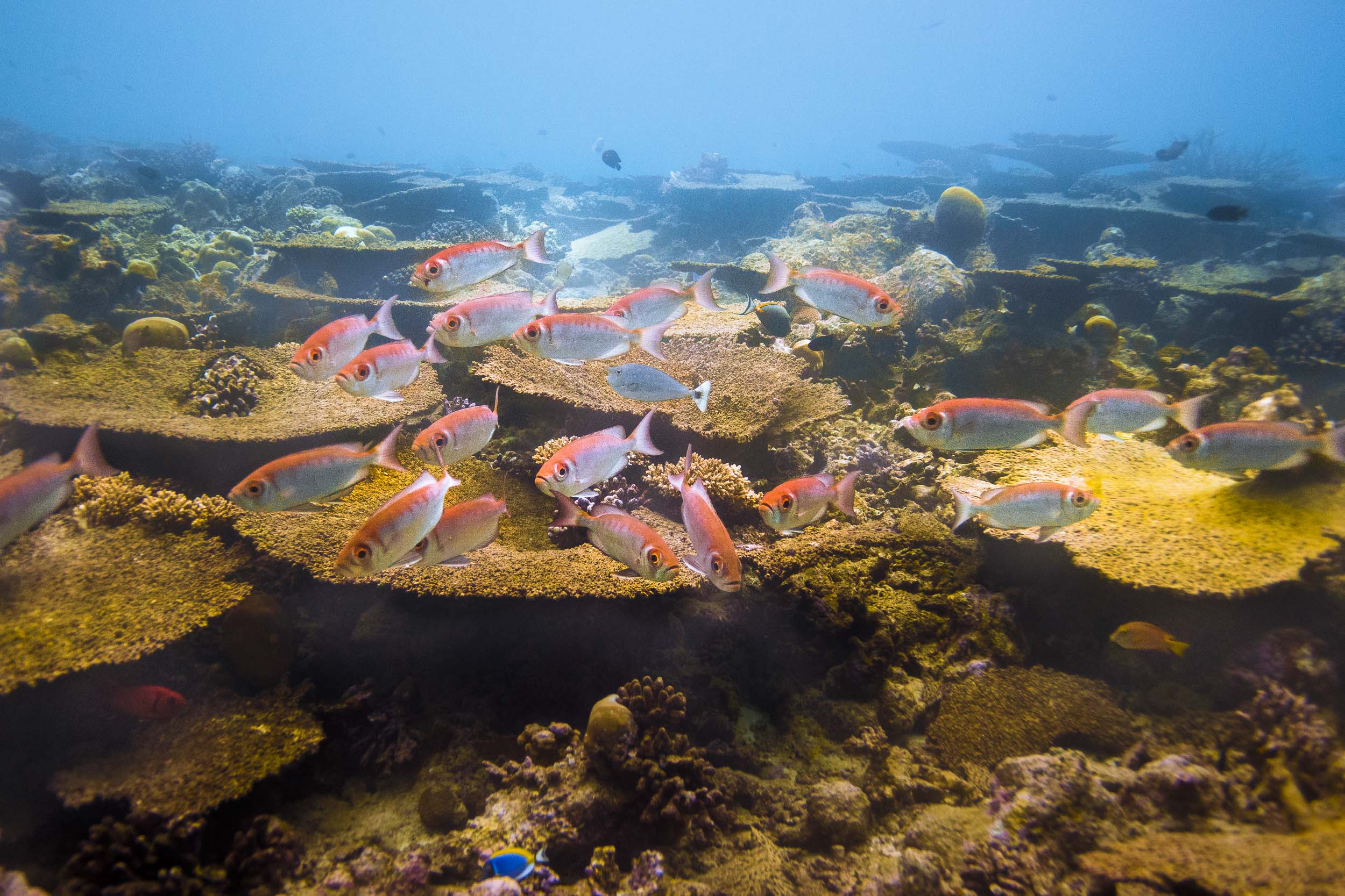 maldives-underwater-reef-fish-marine-4.jpg