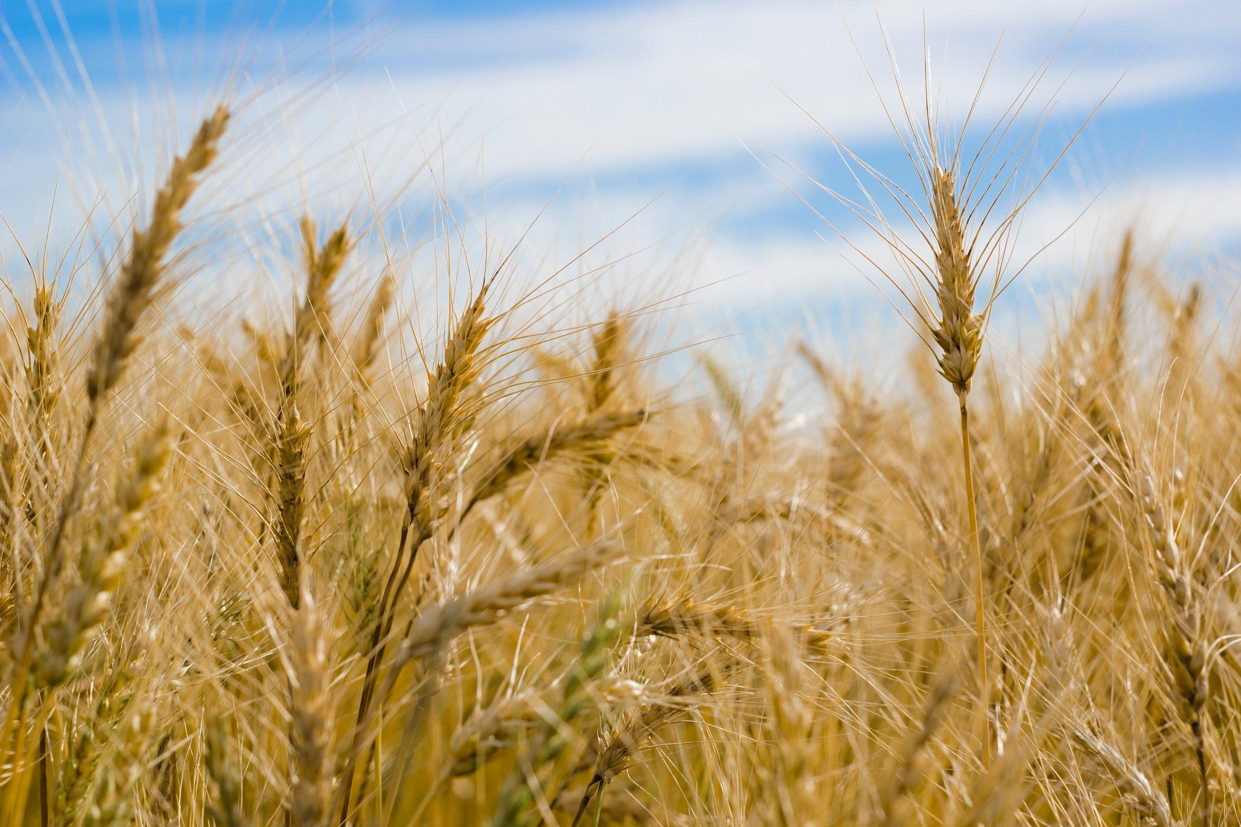 barley-clouds-crop-1093769.jpg