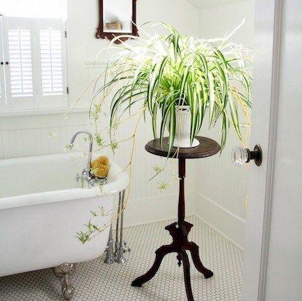 plants - spider plant.jpg