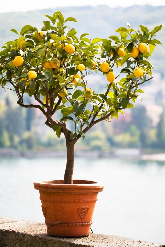 When life gives you a lemon tree, make lemonade. - Congratulations! You now have your own lemon tree!This lemon tree will eventually produce lemons and then you of course will be making lemonade!!Lemon trees are very simple and easy plants to care for. They seem to really enjoy living in a pot sitting in a sunny window.Wondering how to care for your new plant?Read on for all of the information you need to grow your lemon tree to be strong and healthy!