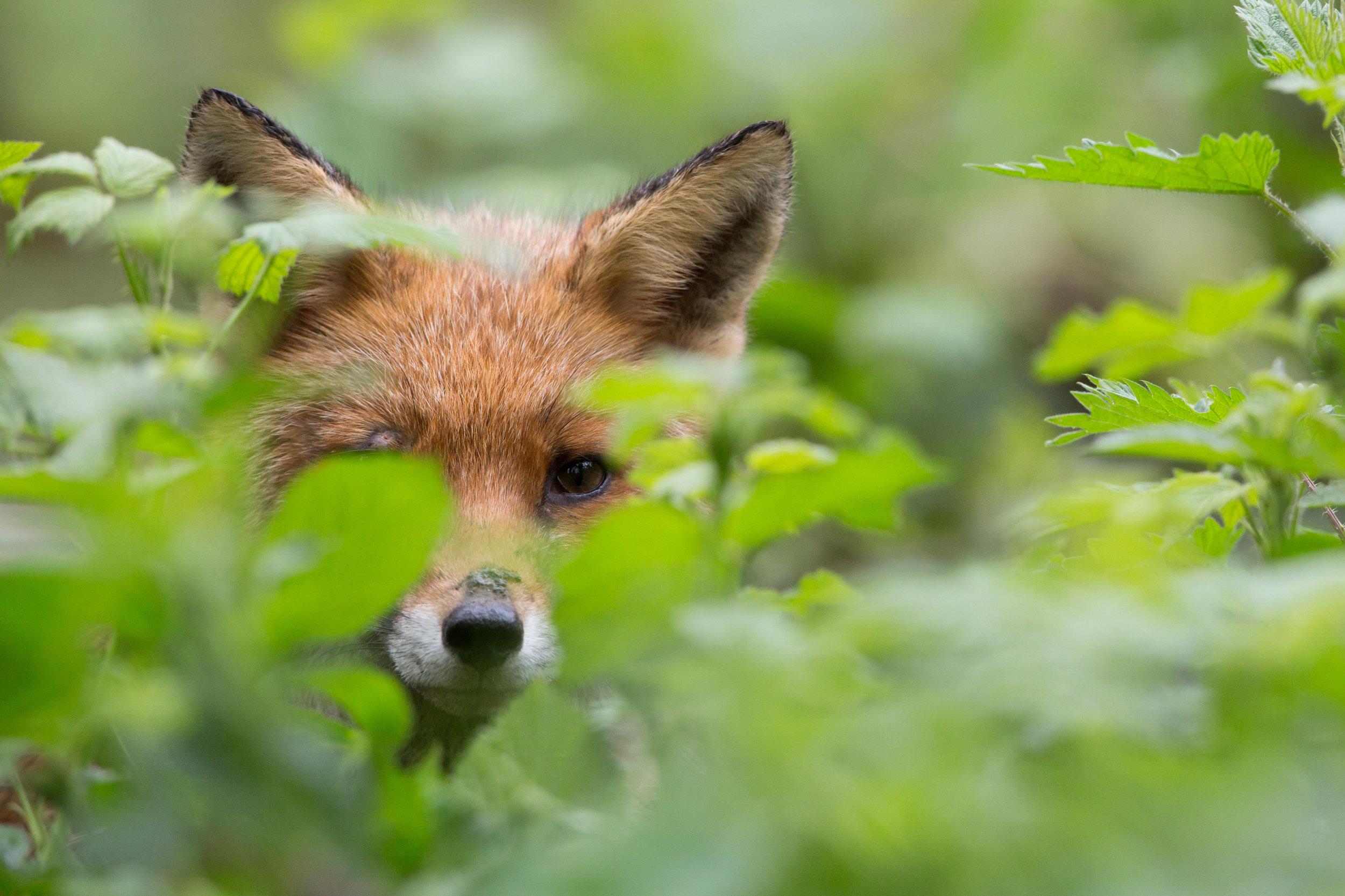 iStock-foxinbushes.jpg