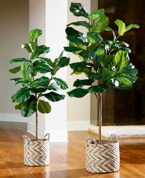 Fiddle leaf tree - You can find these cuties everywhere!I am considering getting just one baby leaf and growing my tree from there. You can shop this exact one here!