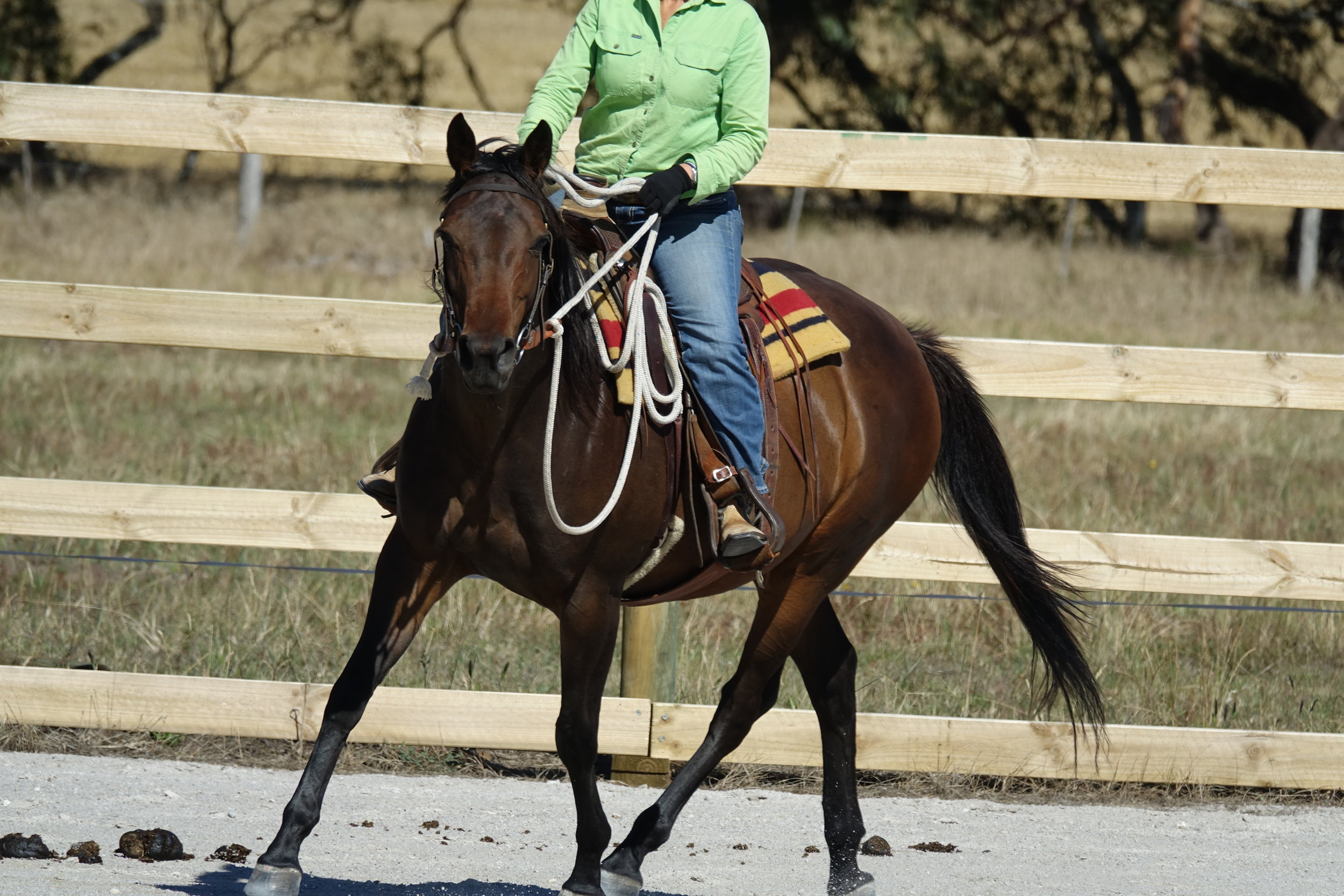 Ellie - SOLD - Beautiful natured 6 year old 15.2 Anglo Arab mare. Ellie would suit an intermediate rider. She was started late last year, turned out and has now just been bought back into work. She has an easy going, very cruisy temperament and would make an excellent pony club, ARC or trail riding mount. She is good to float, have feet and teeth done and as you can see by her belly is a good doer. She is up for sale as I have way too many horses to keep in work and she would just waste in the paddock. Ellie deserves a home that can give her more education and attention. She is priced at $3500. If you would like to meet Ellie please contact Sally on 0408 178 072. She is located at Buckley near Geelong.