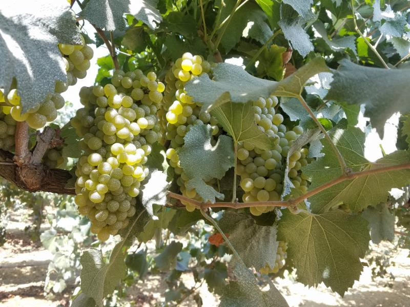 On the vine - 8-20-18