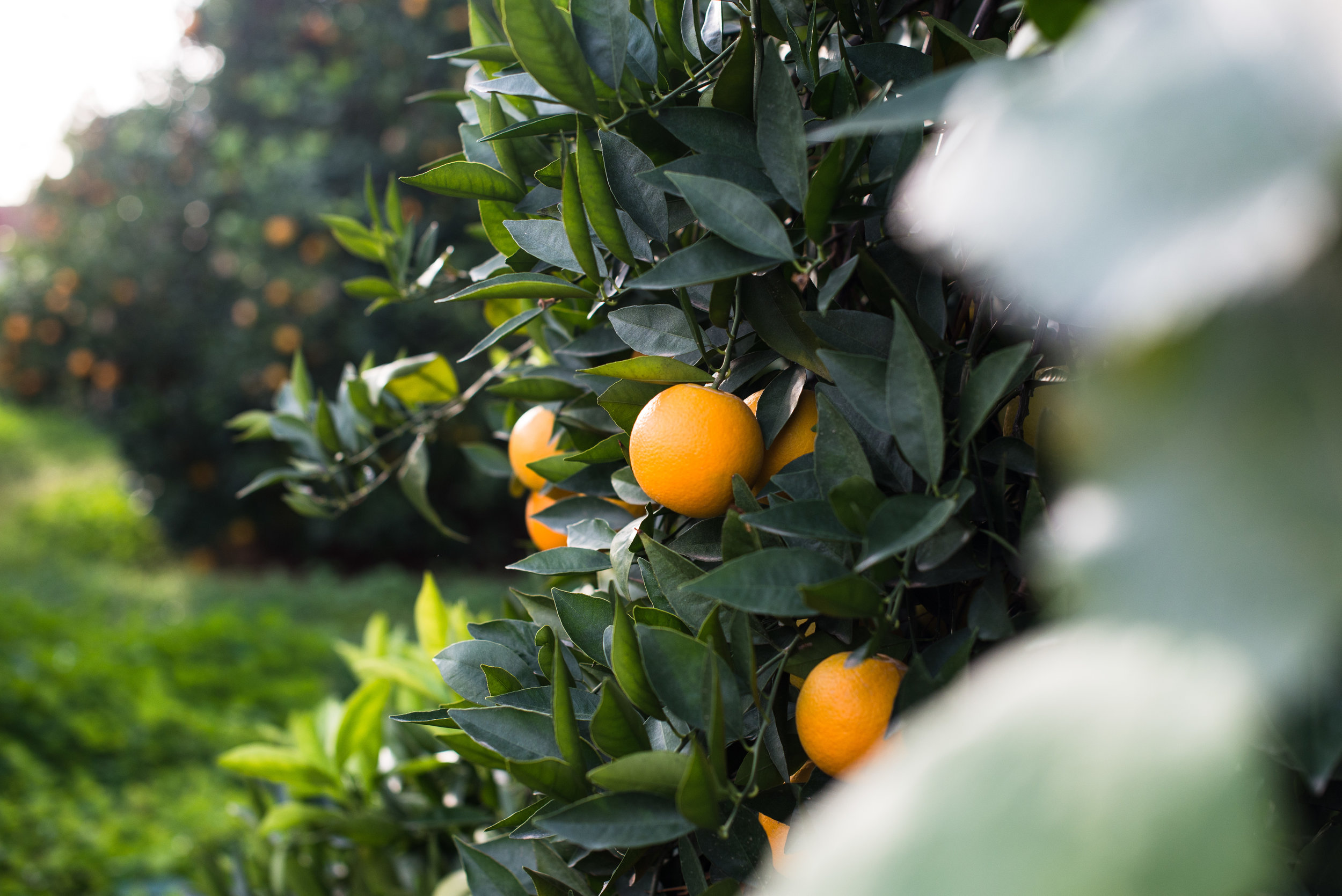oranges-5.jpg