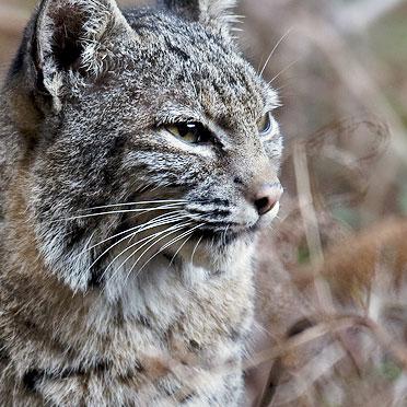 OT Bobcat.jpg