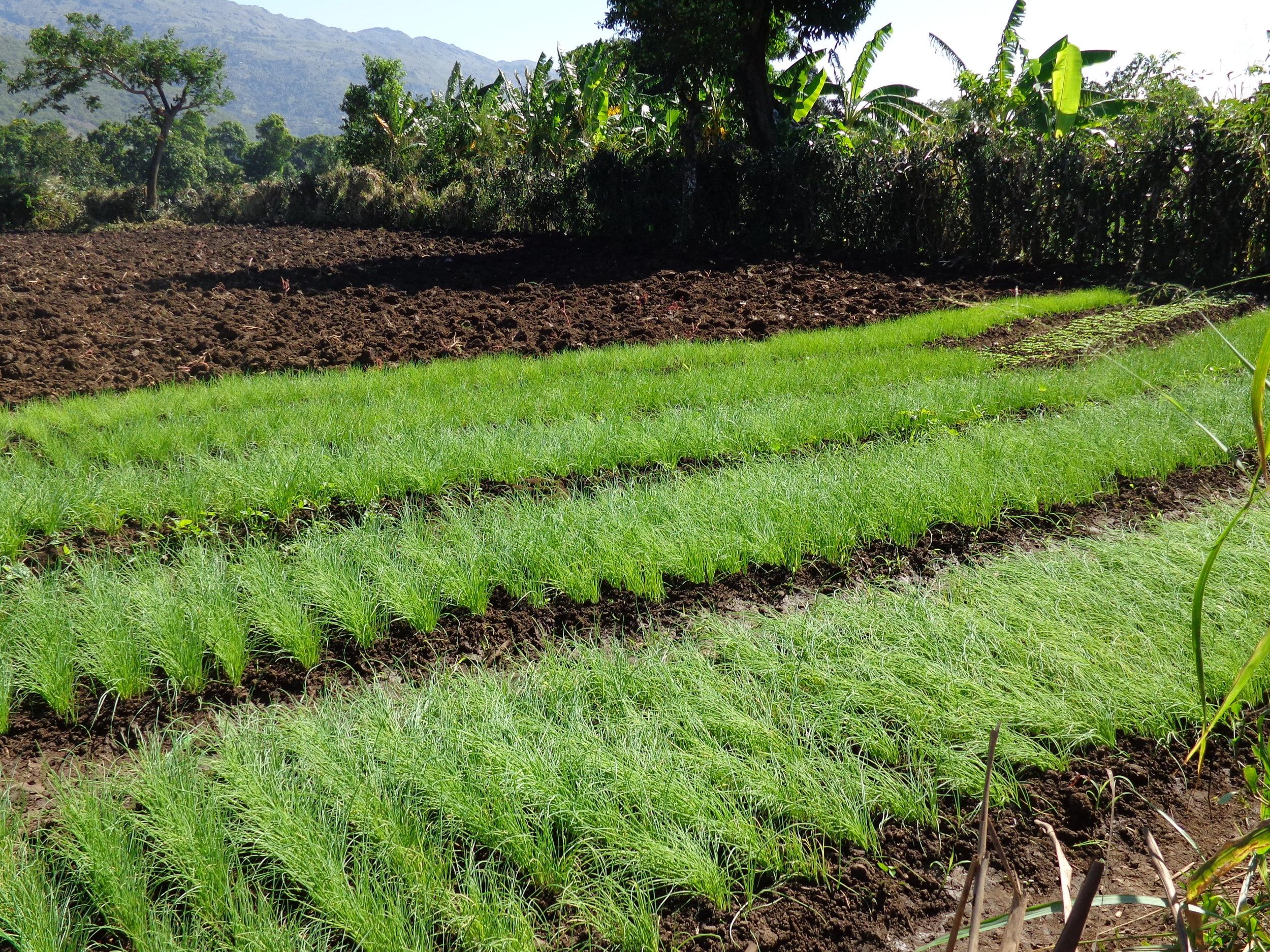 Crops growing near St. Rafael, Haiti.