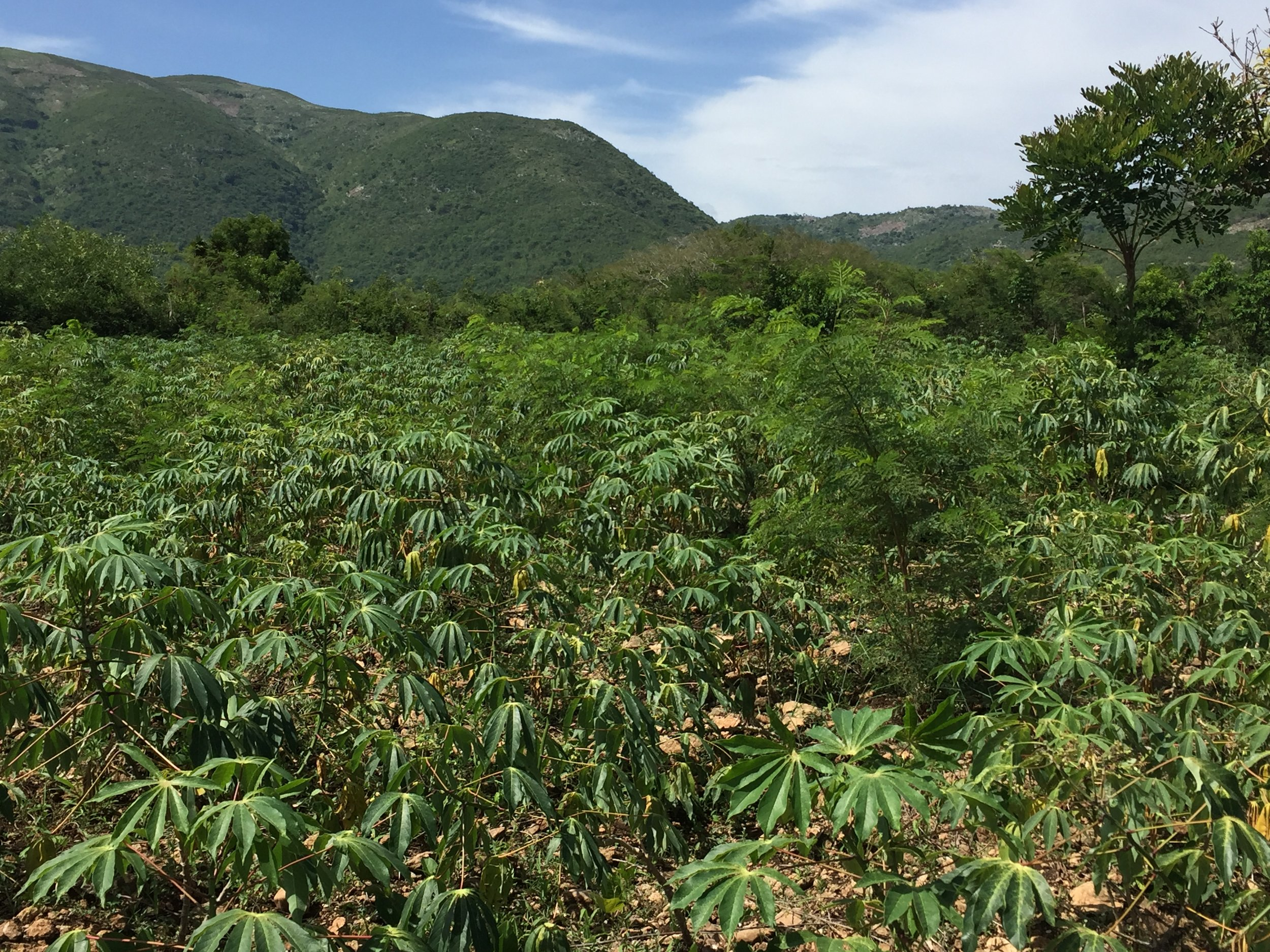 Field of cassava and other crops on the PDL land; farmer cooperative members participate in learning how to grow crops in new and more efficient ways.
