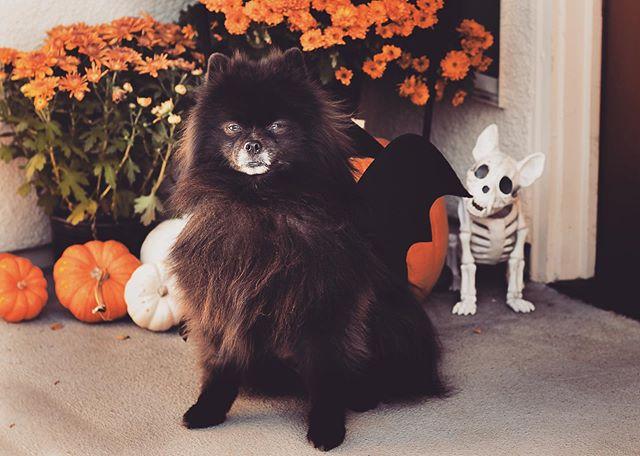Halloween ready... . . . . . . #pets #petsofinstagram #pomeranian #pom #halloween #pethalloween