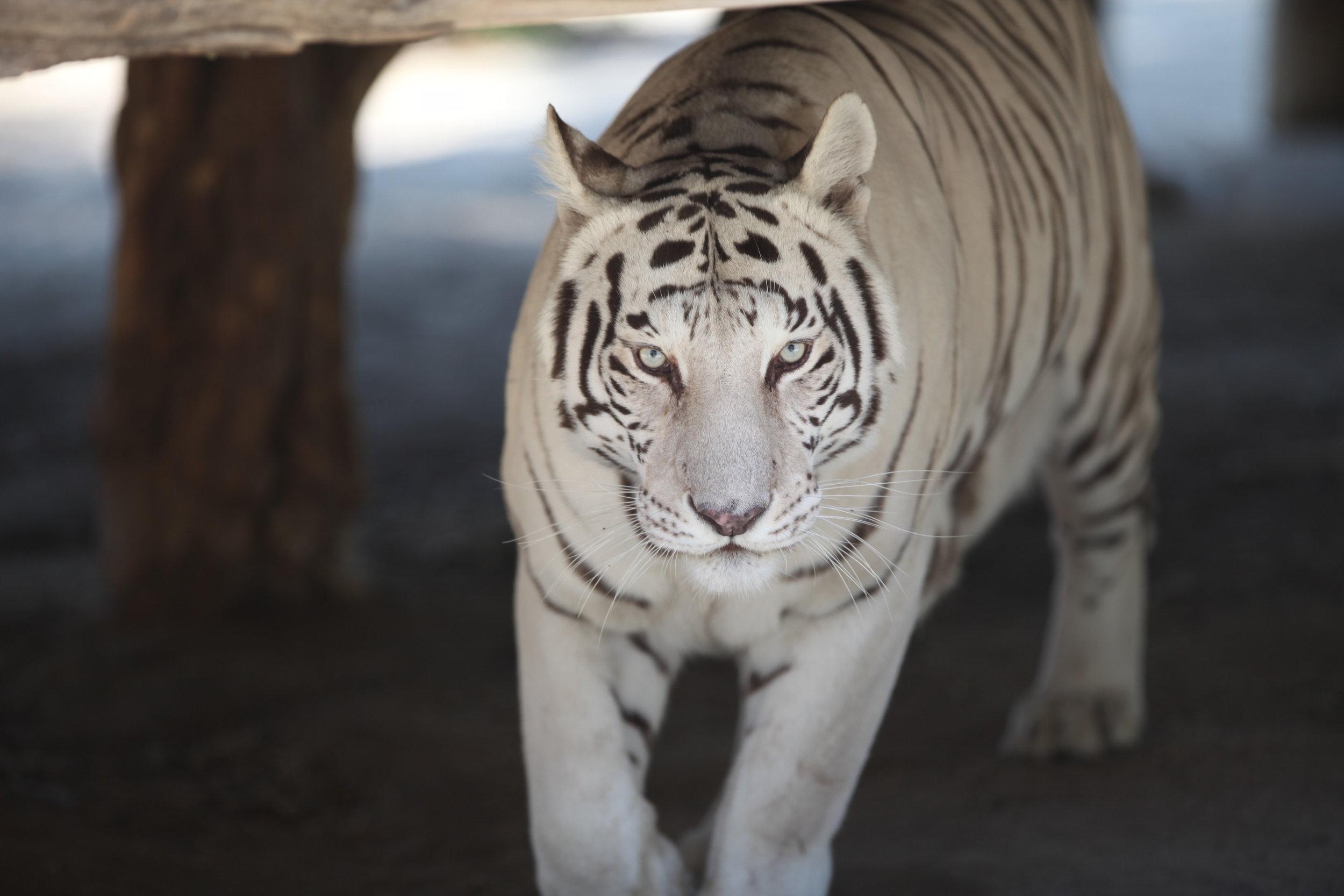 tigers_2_20170915_1078798025-view=image&format=raw&type=orig&id=190.jpg