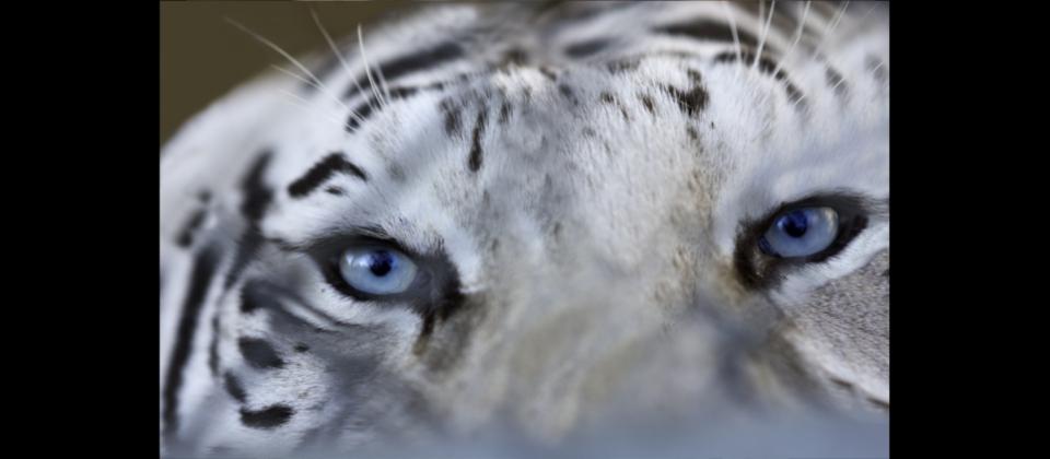 tigers_7_20170915_1321897278-view=image&format=raw&type=orig&id=186.jpg
